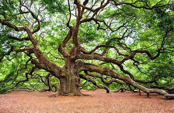 ओक पेड़ के बारे में 21 अद्भुत जानकारी – Information About Oak Tree in Hindi