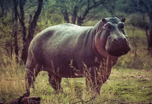 About Hippopotamus in Hindi