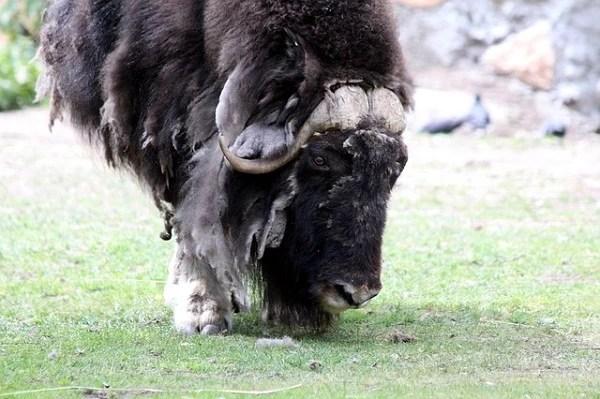 Musk Ox wool animal