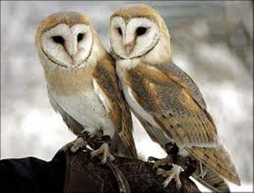 10 Facts about Barn Owls  Fact File