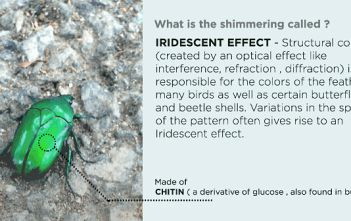 How does the beetle get its shimmering colors featured image