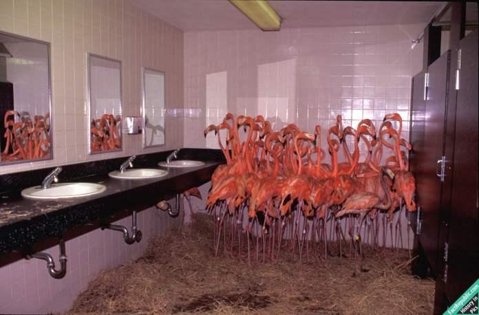 11-flamingoes