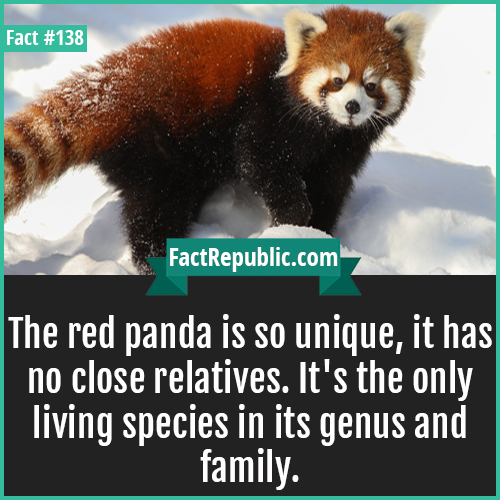 138. Red panda no close relatives-The red panda is so unique, it has no close relatives. It's the only living species in its genus and family.