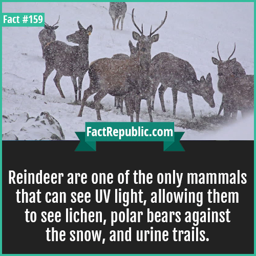 159. Reindeer UV light-Reindeer are one of the only mammals that can see UV light, allowing them to see lichen, polar bears against the snow, and urine trails.
