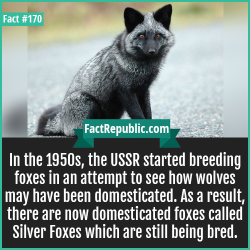 170. Domesticated silver fox-In the 1950s, the USSR started breeding foxes in an attempt to see how wolves may have been domesticated. As a result, there are now domesticated foxes called Silver Foxes which are still being bred.