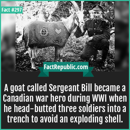 297-Sergeant bill-A goat called Sergeant Bill, who became a Canadian war hero during WWI when he head-butted three soldiers into a trench to avoid an exploding shell.
