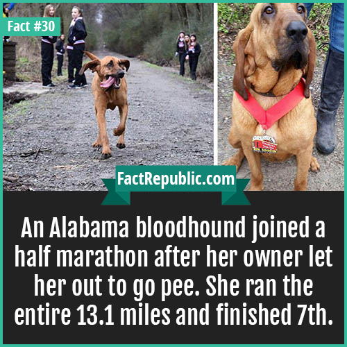 30-bloodhound-marathon-An Alabama bloodhound joined a half marathon after her owner let her out to go pee. She ran the entire 13.1 miles and finished 7th.
