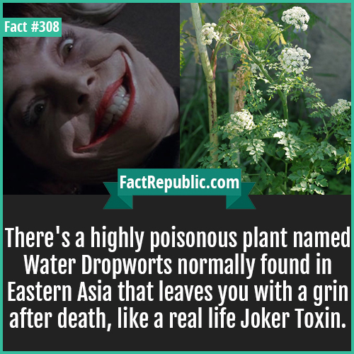 308. Grin death-There's a highly poisonous plant named Water Dropworts normally found in Eastern Asia that leaves you with a grin after death, like a real life Joker Toxin.