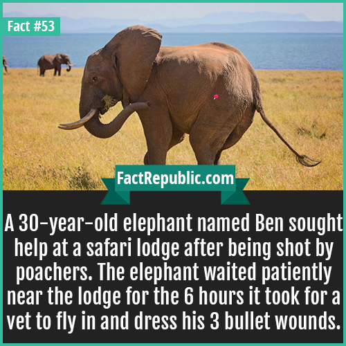 53. Ben Elephant-A 30-year-old elephant named Ben sought help at a safari lodge after being shot by poachers. The elephant waited patiently near the lodge for the 6 hours it took for a vet to fly in and dress his 3 bullet wounds.