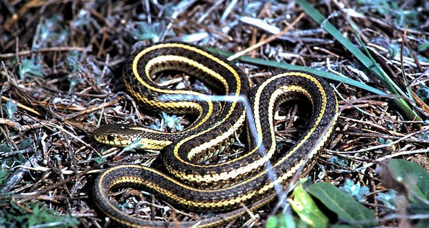Male garter snakes