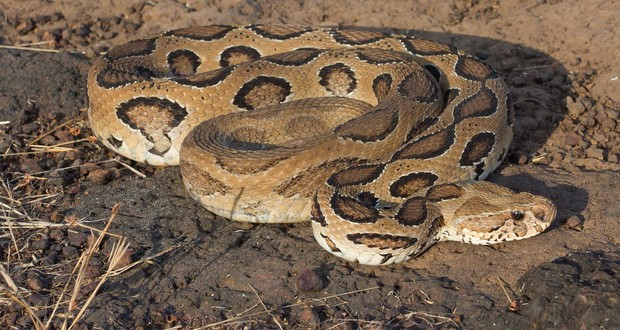 Viper's venom