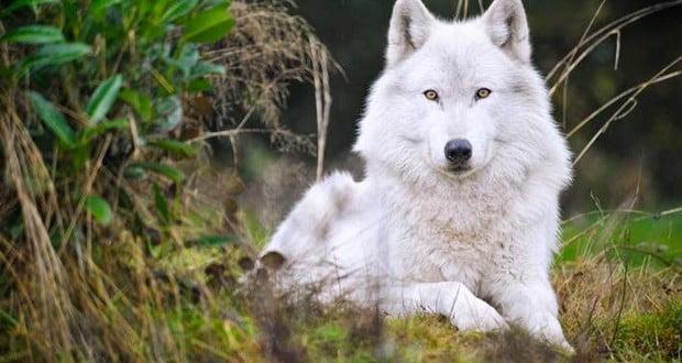 Wolves raids