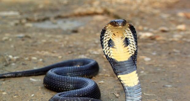Bounty on Cobras