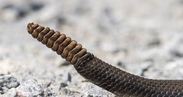 Rattlesnake's rattle