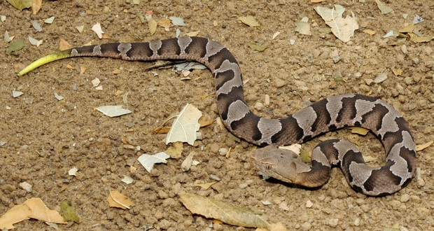 Northern copperhead snakes