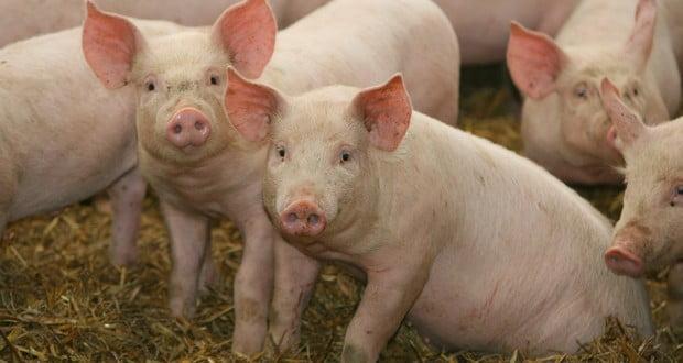 Pigs' immunity