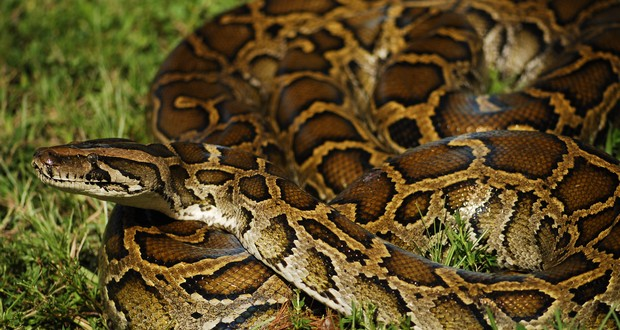 Florida  python invasion