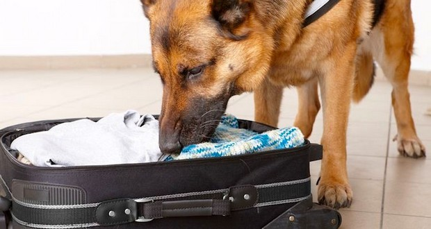 Bomb and drug sniffing dogs