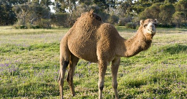Sand and Camel