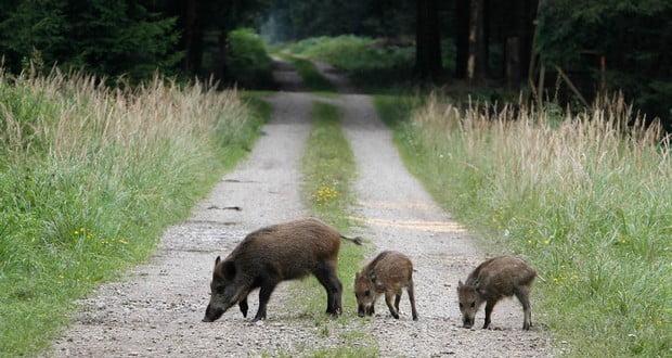 Radioactive wild boars