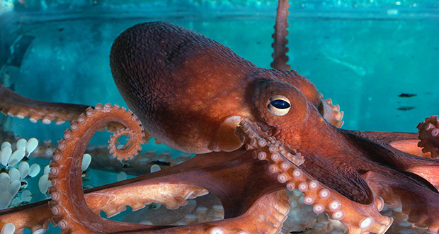 Octopi surgery policy