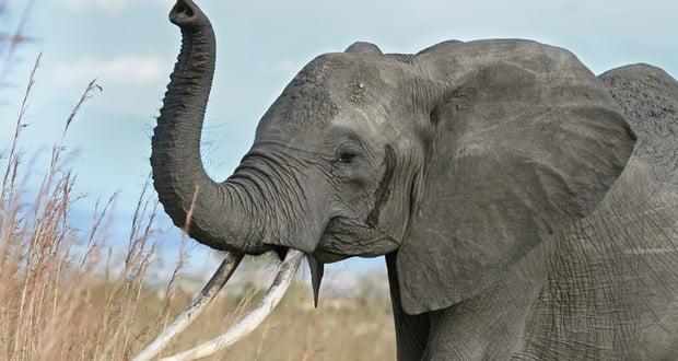 Helping elephant