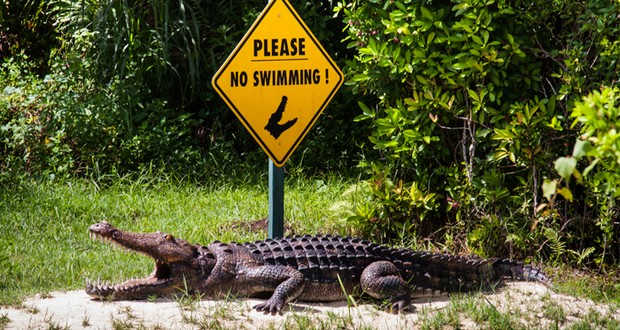 Mocking an alligator