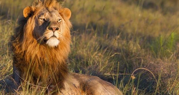 Lifespan of Lions