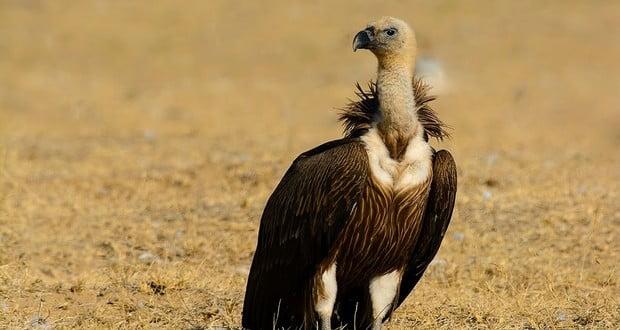 Indian vulture crisis