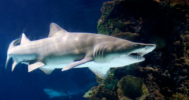 Mother tiger shark