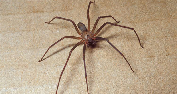 Brown recluse spiders | Fact# 6631 | FactRepublic.com - photo#12