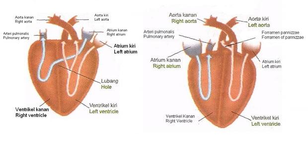 Reptilian heart