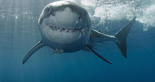Colossal cannibal great white shark
