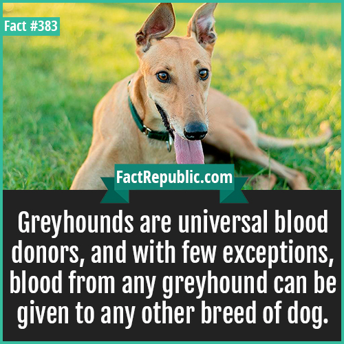 383. Greyhounds-Greyhounds are universal blood donors, and with few exceptions, blood from any greyhound can be given to any other breed of dog.