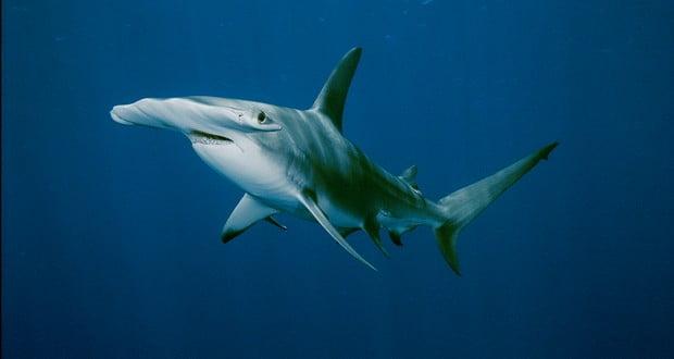 Hammerhead sharks reproduction