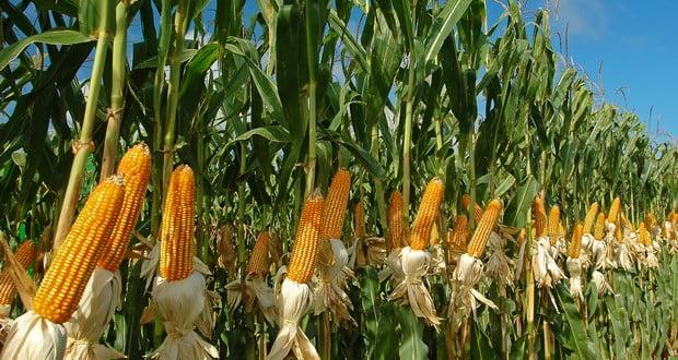Corn Sweat