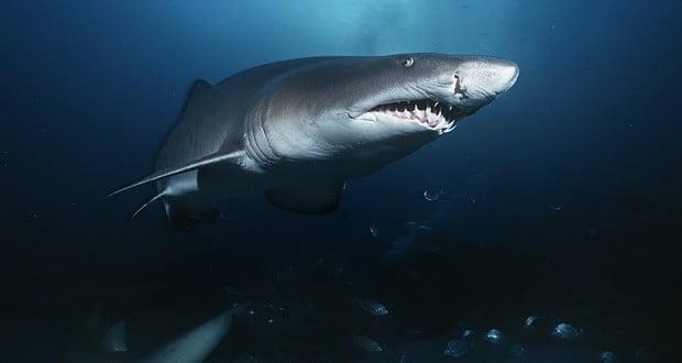 Female sand tiger sharks