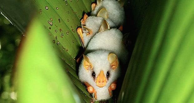 Honduran White Bats
