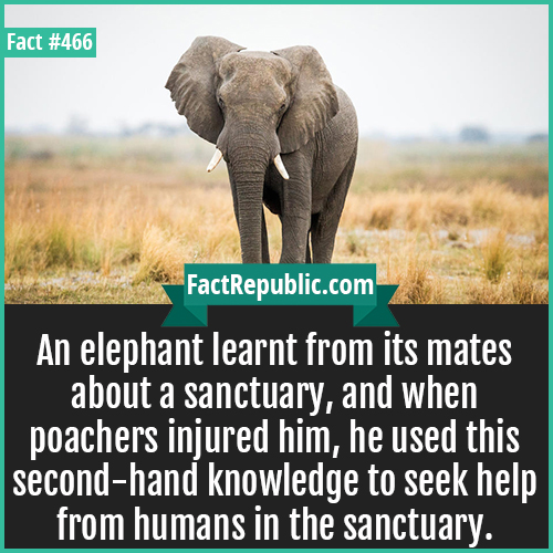 466. Elephant-An elephant learnt from its mates about a sanctuary, and when poachers injured him, he used this second-hand knowledge to seek help from humans in the sanctuary.