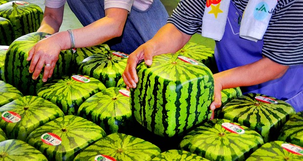 Cube watermelons