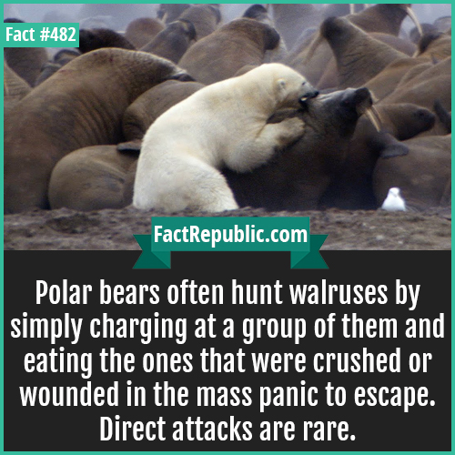 482. Polar bears-Polar bears often hunt walruses by simply charging at a group of them and eating the ones that were crushed or wounded in the mass panic to escape. Direct attacks are rare.