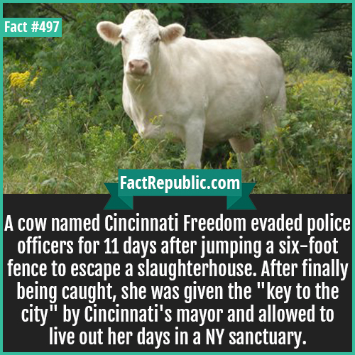 497-Cincinnati cow-A cow named Cincinnati Freedom evaded police officers for 11 days after jumping a six-foot fence to escape a slaughterhouse. After finally being caught, she was given the
