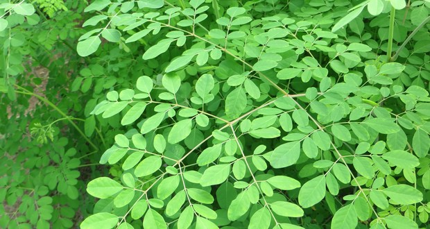 Moringa tree leaves
