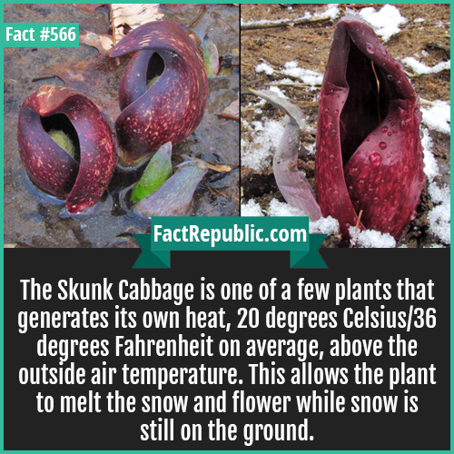 566-Skunk cabbage-The Skunk Cabbage is one of a few plants that generates its own heat, 20 degrees Celsius/36 degrees Fahrenheit on average, above the outside air temperature. This allows the plant to melt the snow and flower while snow is still on the ground.