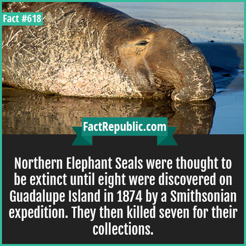 618. Northern Elephant Seals-Northern Elephant Seals were thought to be extinct until eight were discovered on Guadalupe Island in 1874 by a Smithsonian expedition. They then killed seven for their collections.