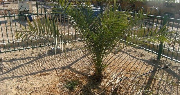 Judean date palm
