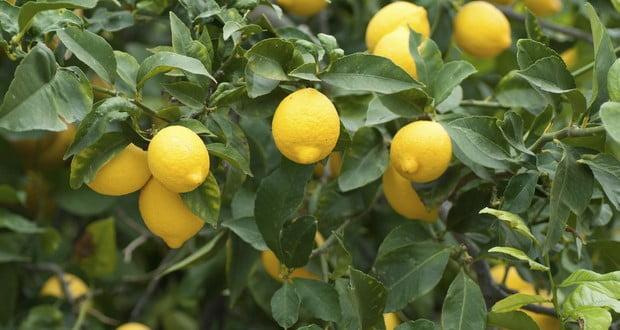 Lemonade tree