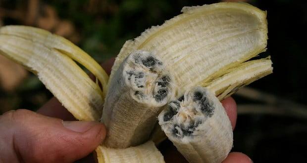Wild bananas