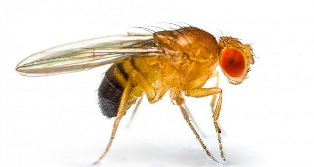 Male fruit flies