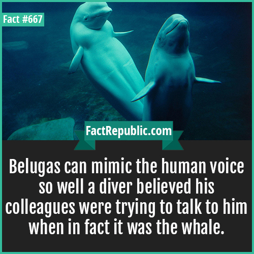 667. Belugas-Belugas can mimic the human voice so well a diver believed his colleagues were trying to talk to him when in fact it was the whale.